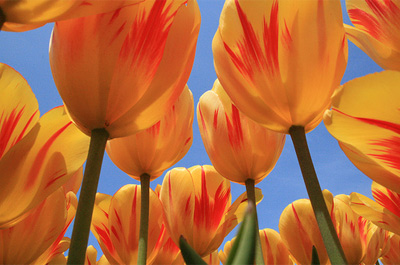 Tulpen aus Holland
